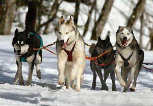 Kicking off the 47th Iditarod Trail Sled Dog Race!